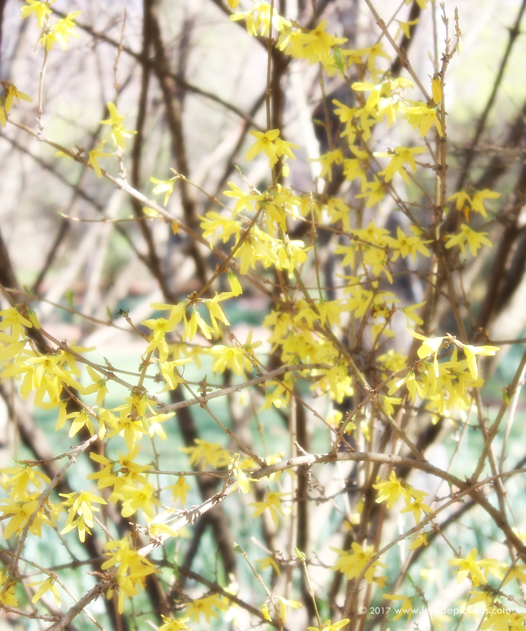 Forsythia_Lensdepictions