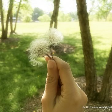 You, Little Dandelion! – A Poem + August 2017 Wallpapers!