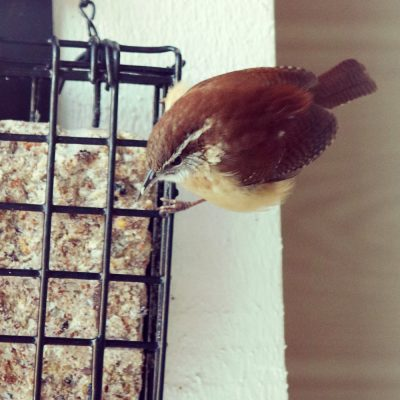 Carolina Wren on my Bird Feeder!