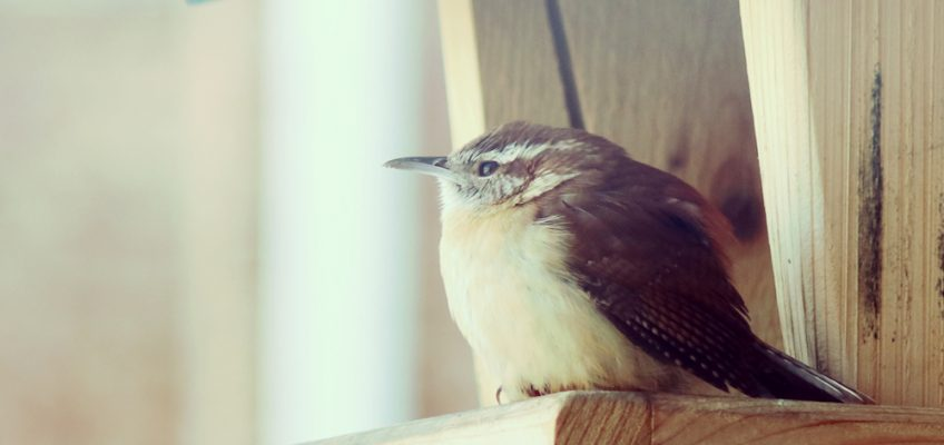 Cute Carolina wren birdfeeder