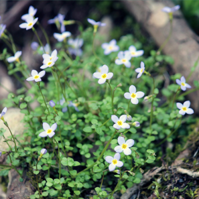 Thyme Leaved Bluets